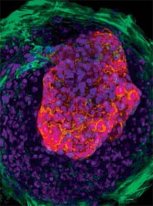 Stem cells create tiny beating heart